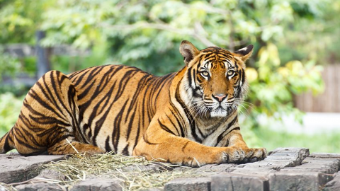 Tygří trus proti kunám